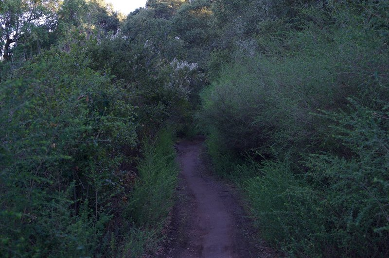 The trail is flanked by shrubs through this section, and is a little narrower than the rest of the trail.