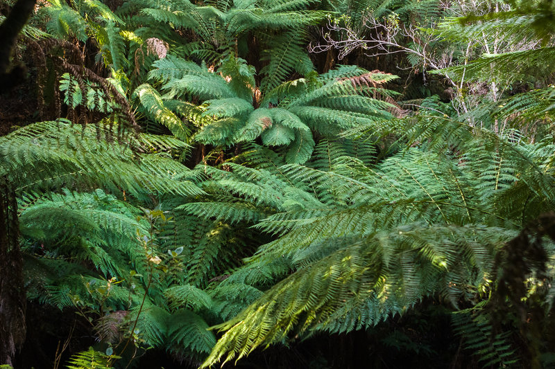 Tree ferns at Maits Rest.
