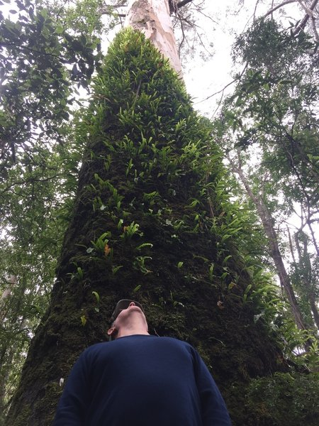 Looking up at a massive Eucalyptus.