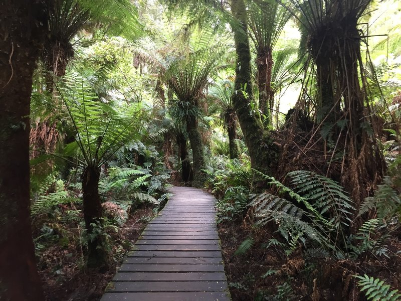 Some raised trail in the dense tree fern forest.