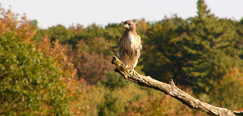 Red-tailed hawk at Wachusett Meadow Wildlife Sanctuary.
