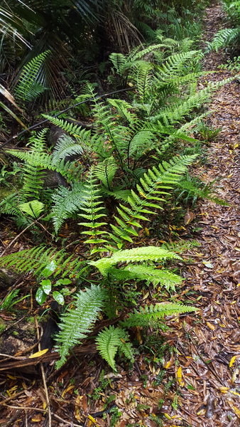 Ferns growing along the side of the track.