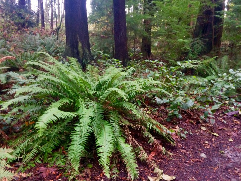 Ferns and cedars.