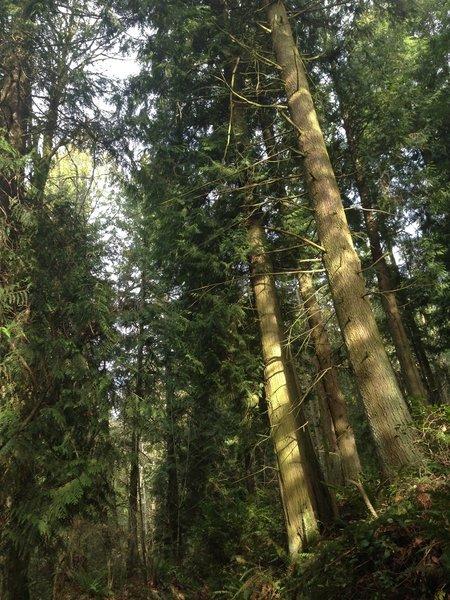 Tall trees along the Trillium Trail.