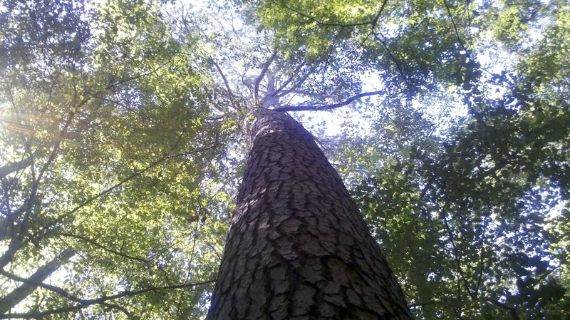 A tall tree along the side of the trail.