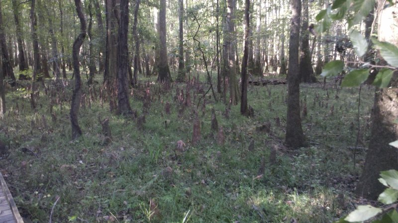 Cypress knees exposed during the dry season, taken from the lower boardwalk