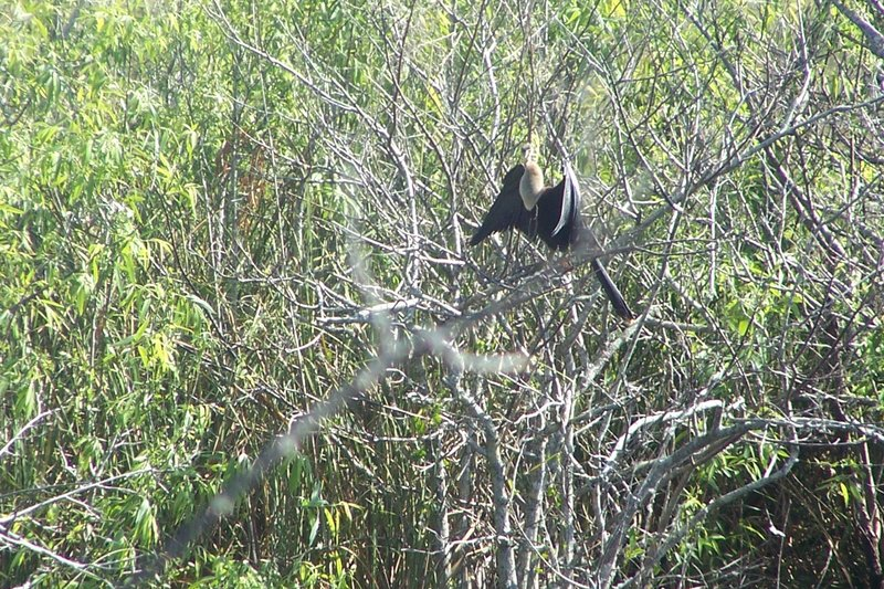 An Anhinga (bird) sunbathing on its namesake trail.