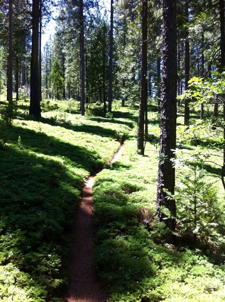 A beautiful section of Arnold Rim Trail singletrack in a lush forest.