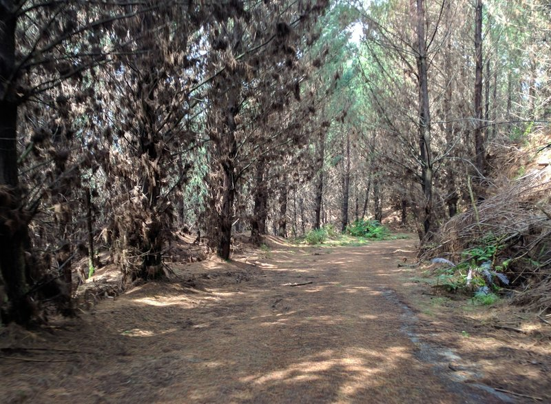 While the Titoki Forestry Road only impersonates singletrack, it provides an excellent running surface nonetheless.
