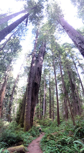These redwoods are HUUUUUUGE!!!