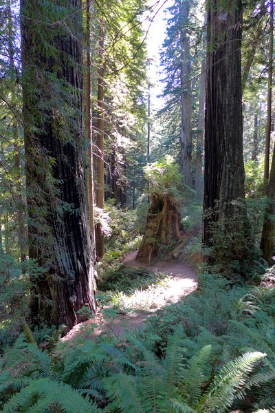The James Irvine Trail makes for a beautiful stroll meandering around the foot of numerous giants.