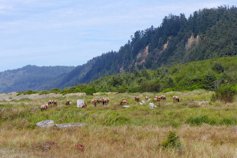 A herd of Roosevelt elk enjoying the day on the beach.