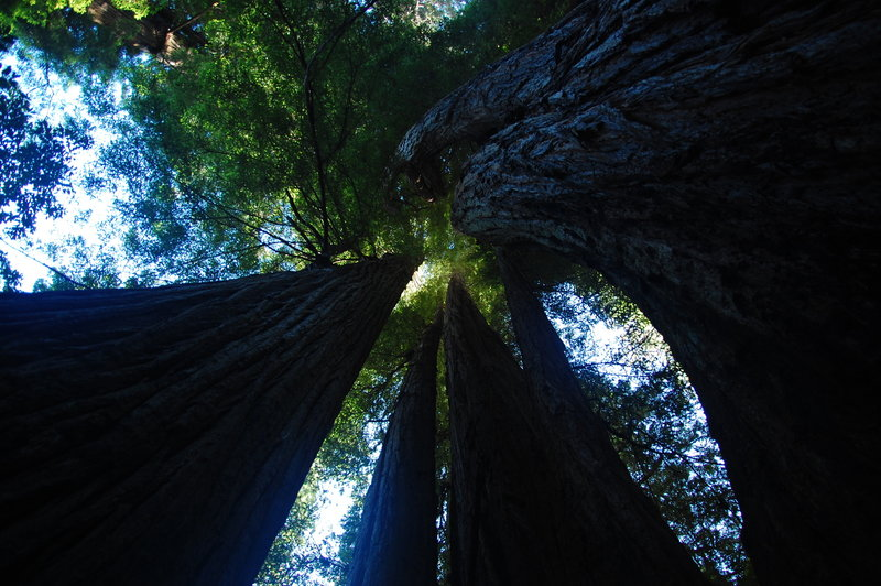 Redwood's tall, tall trees along the Tall Trees Trail.