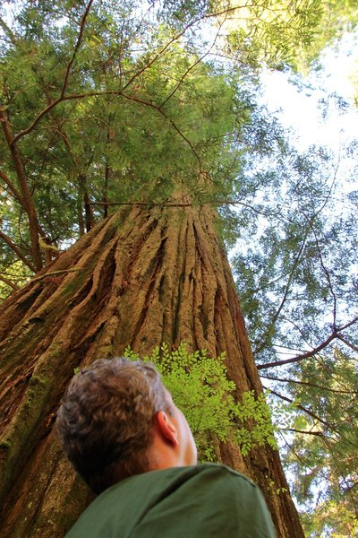 A man tries to see the top of a 250-foot tall coastal redwood.