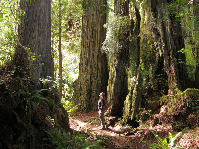 A hiker enjoys massive redwoods at Prairie Creek Redwoods State Park.