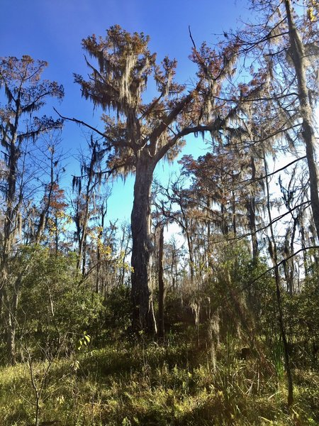 The Monarch of the Swamp is a 600-year-old bald cypress.