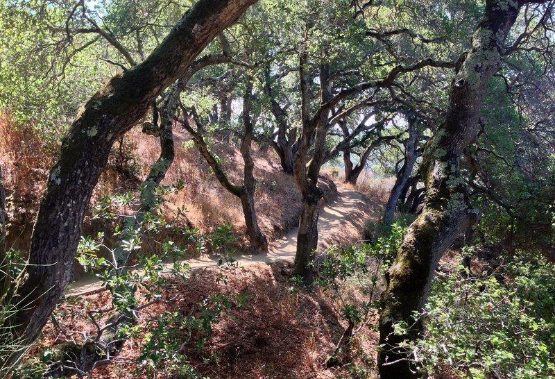 Coast live oaks on the Dick Bishop Trail.