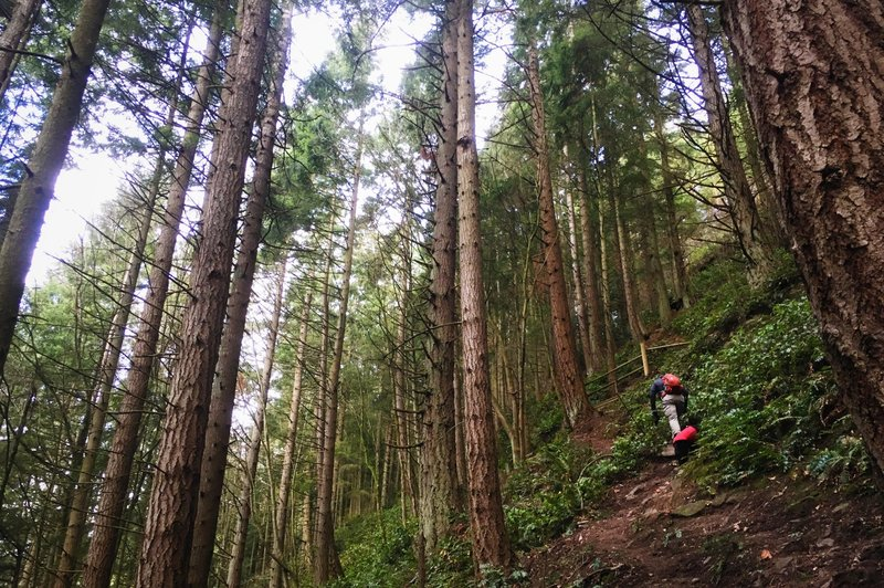 Steep going on Fred's Trail at Little Mountain Park, Mount Vernon, WA.