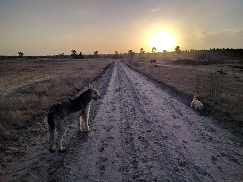 The dogs enjoying the straight and even trail. | Honden gaan zo aan de lijn.