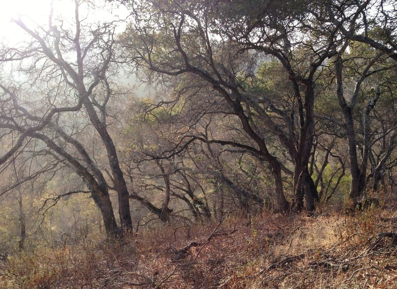 Forest on Pulgas Ridge Open Space Preserve along the Dick Bishop Trail.