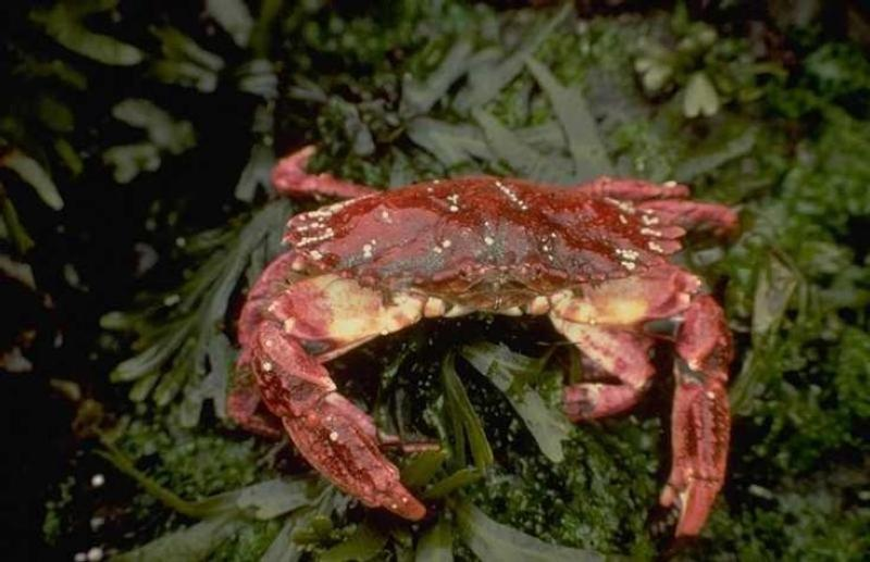 A crab seen in Lagoon Pond.