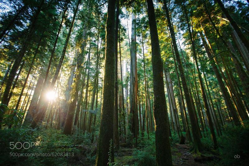 Redwood sunset.