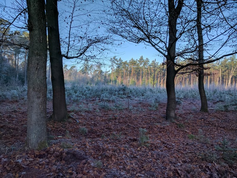 Young pine stand behind a berm of beech and oak.