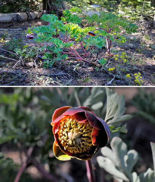 Keep your eyes peeled for flowering brown peony along the Switchback Trail in Royal Gorge.