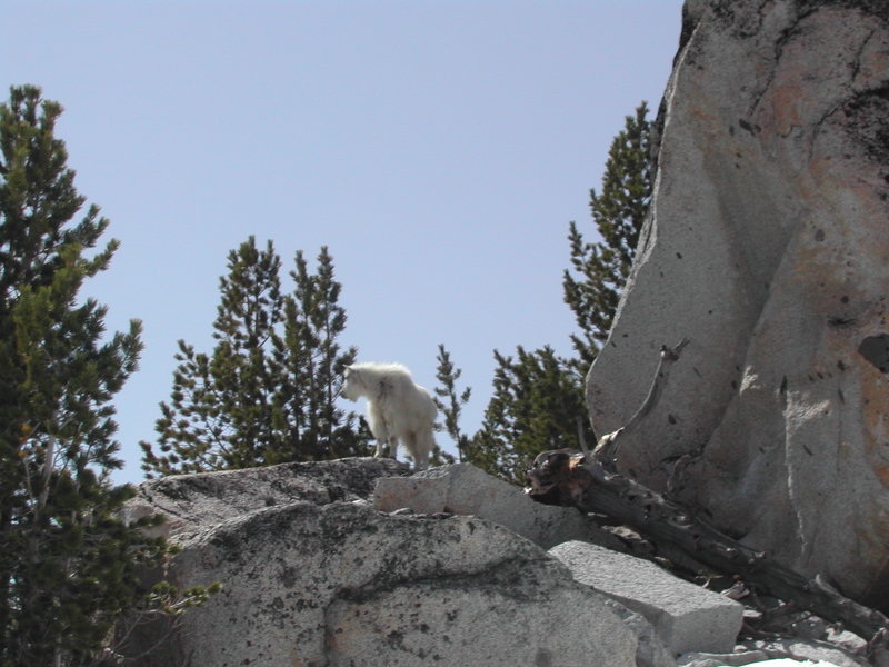 A mountain goat takes in the view on the Snow Lakes Trail #1553.