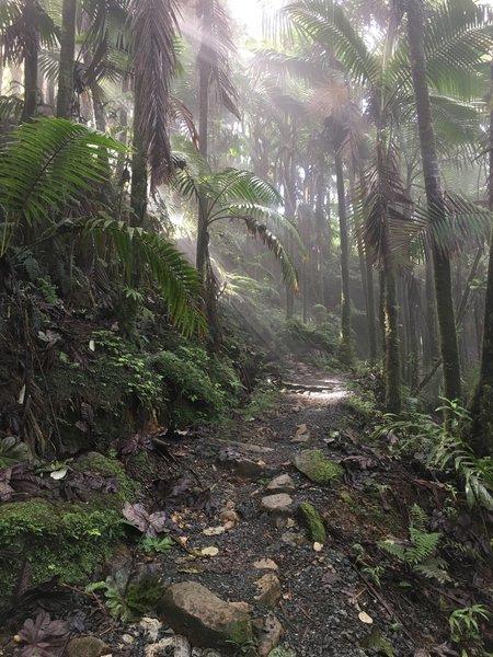 The El Yunque Trail travels through lush jungle on its way to El Yunque Peak.