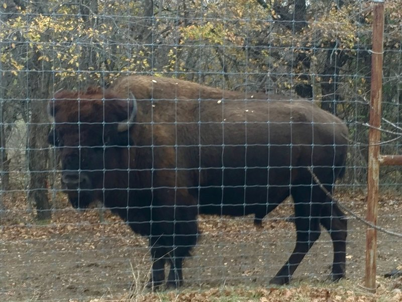 """A bison says """"hello"""" at the Fort Worth Nature Center & Refuge."""