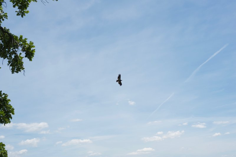 An eagle soars above the Mississippi River on the Hanging Rock Trail.