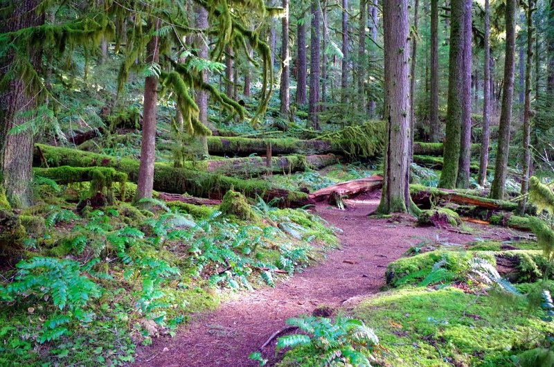 Moss covering the ground and the many down logs is a key component to old-growth forests.