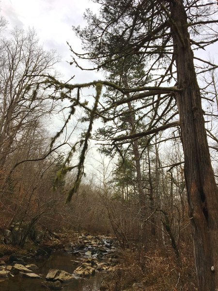 Eastern cedar grow large in Duke Forest.