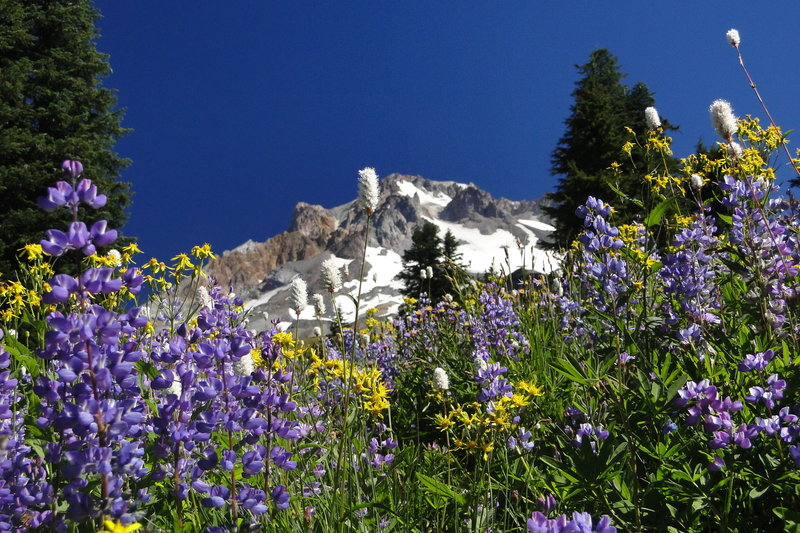 The wildflower show begins at the junction of Paradise Trail #778 and Paradise Park Loop Trail #757. Photo by Guy Meacham.