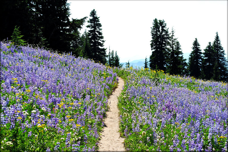 Lupine meadows peppered with Indian paintbrush, western pasqueflower, penstemon and many other wildflowers surround the Paradise Park Loop Trail. Photo by Ethan Douglass.