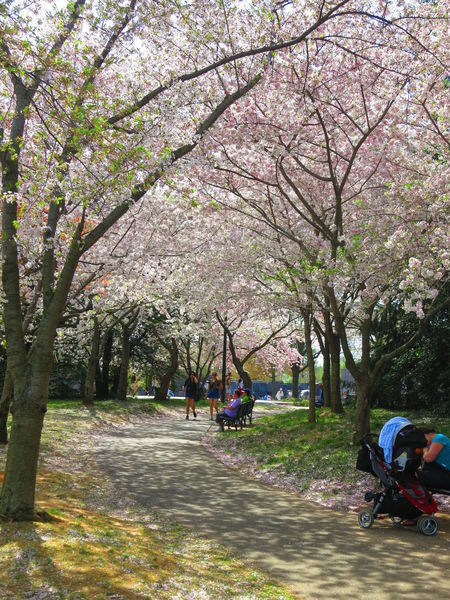 The entire capital, including the Vietnam Memorial, erupts in the bright blossoms of Japanese cherry trees come springtime.
