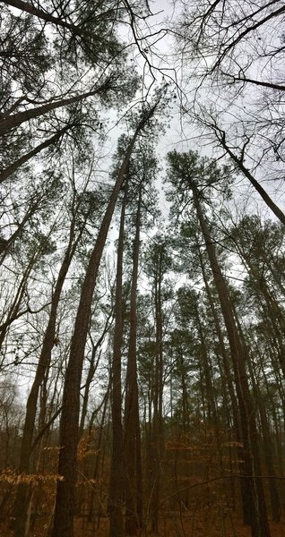Tall Loblolly Pines.