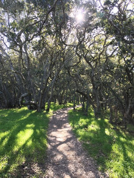 A grove of live oaks shade this section of the Pomo Trail.