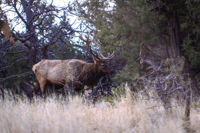 A majestic bull elk trots by the trailhead.