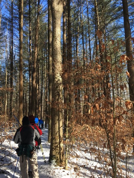 Our group approaches one of Charles Deam Wilderness's white pine groves during a wintertime hike.