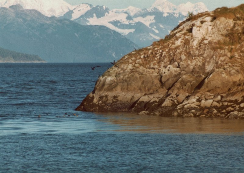 The Fairweathers provide a gorgeous backdrop to seals swimming in Glacier Bay.