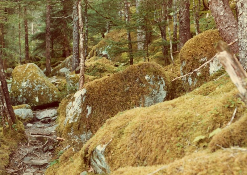 Moss forests (northern rain forest) adorn the East Glacier Trail.