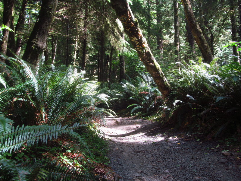 Rainforest hugs the trail in Ecola State Park.