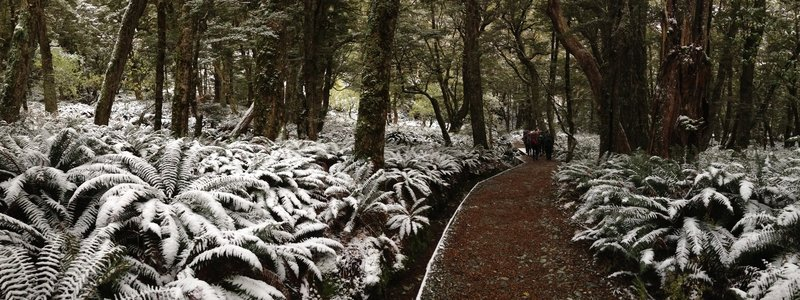 Snow-covered ferns hug the trail to Flats Hut in winter.