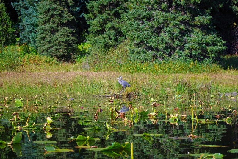 A blue heron stands amongst the waterlilies on Trillium Lake's north end. Photo by Gene Blick.
