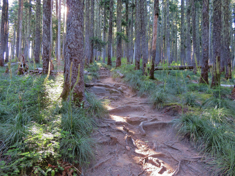 The Timberline Trail is quite rooty just east of the PCT junction, headed to McNeil Point. Photo by Yunkette.