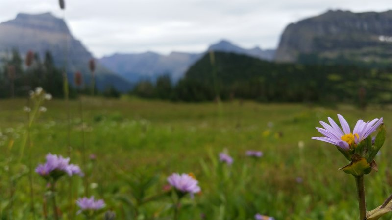 Wildflowers warm the spring landscape near Logan Pass in Glacier National Park.