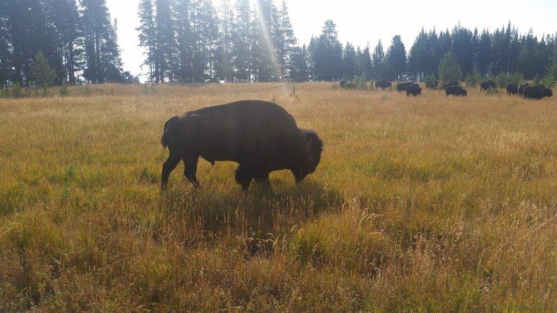Buffalo can often be seen breakfasting near Bridge Bay Campground.