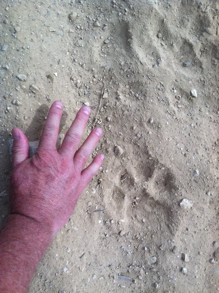 These mountain lion tracks were found near the Chumash Trail.